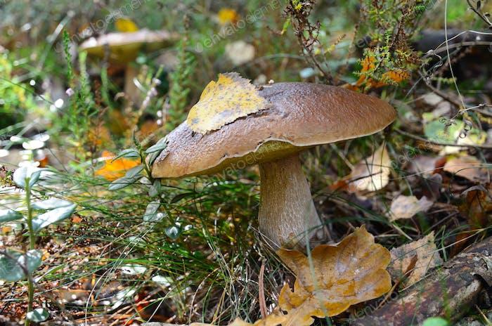 Oak mushroom