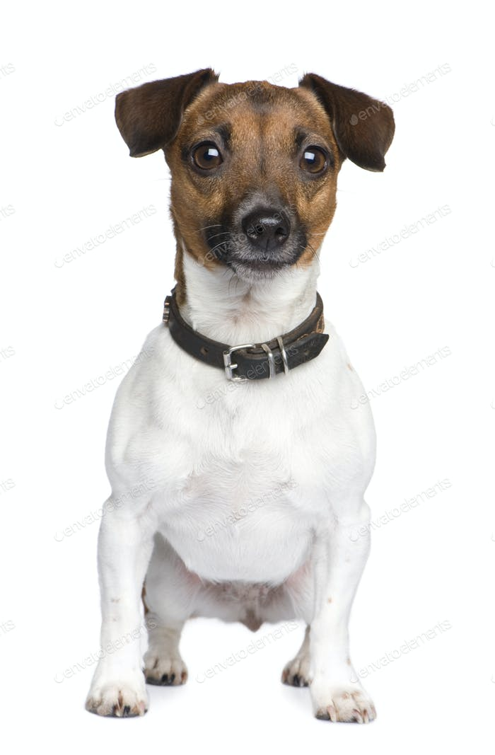 Jack russell (4 years)