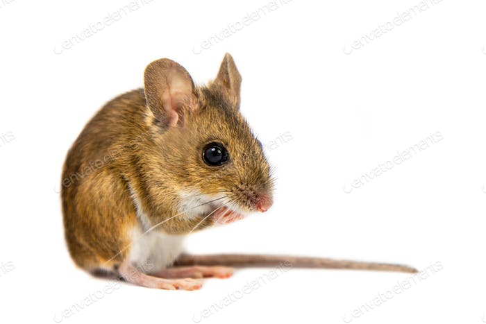 Pondering Field Mouse on white background