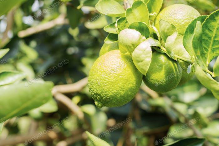 Lemon on tree at sunlight