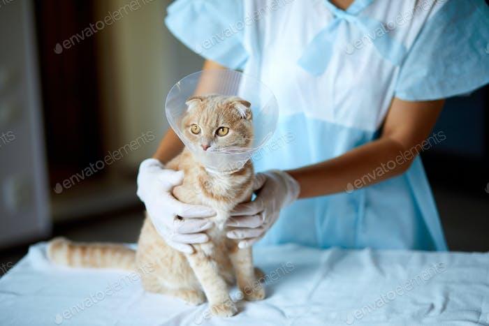 Tierarzt macht eine süße schöne Katze mit Plastikkegelhalsband