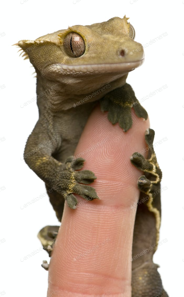 New Caledonian Crested Gecko on fingertip against white background