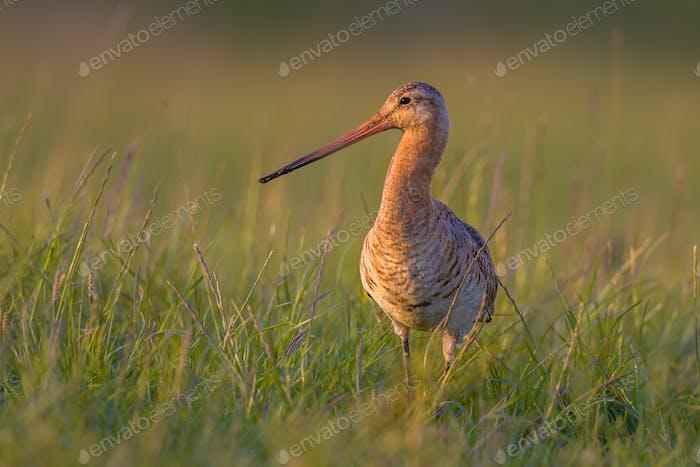 Black-tailed Godwit wader bird standing in grass