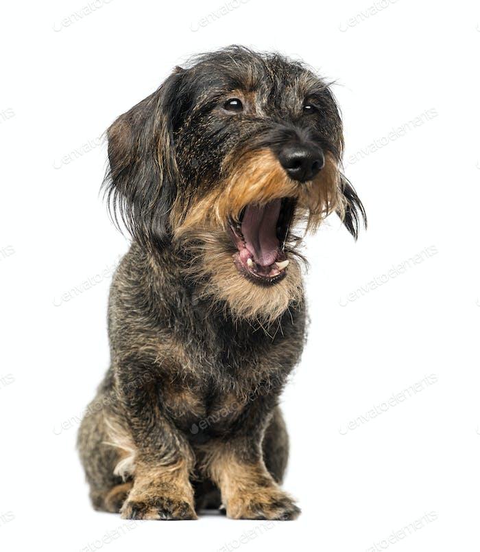 Dachshund yawning (8 years old)
