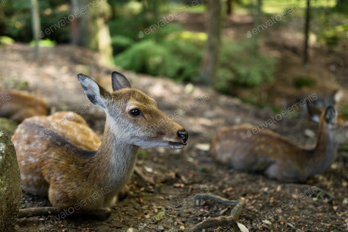 Deer relaxing on the ground