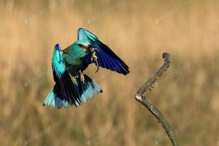 Colorful european roller flying with green lizard in beak in spring