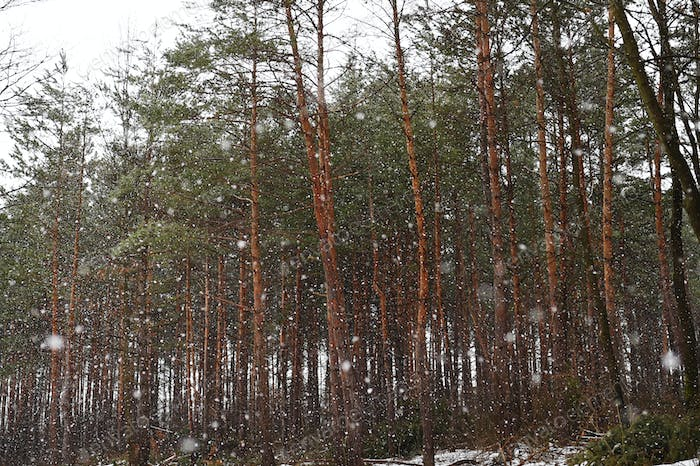 Coniferous trees in winter.