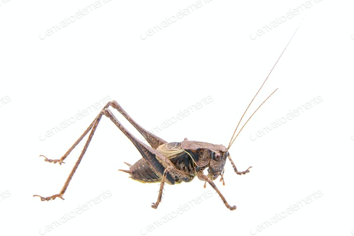 Cricket on a white background