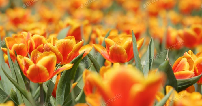 Colorful tulip follower field