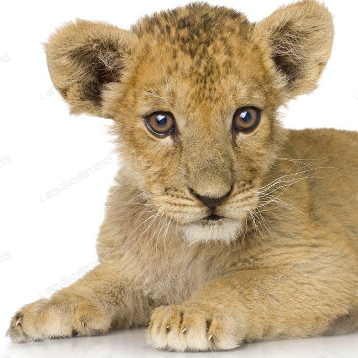 Löwenjunges (3 Monate)