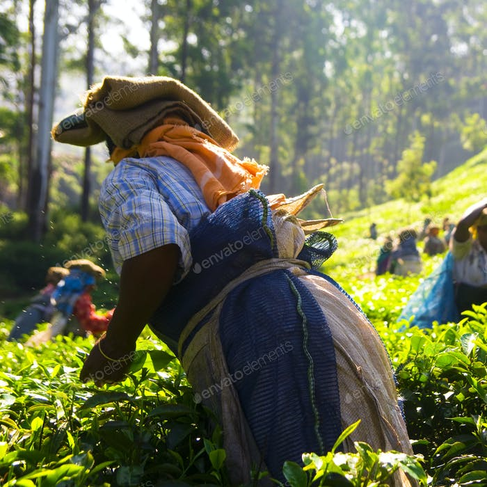 Tea Pickers Working at Kerela India