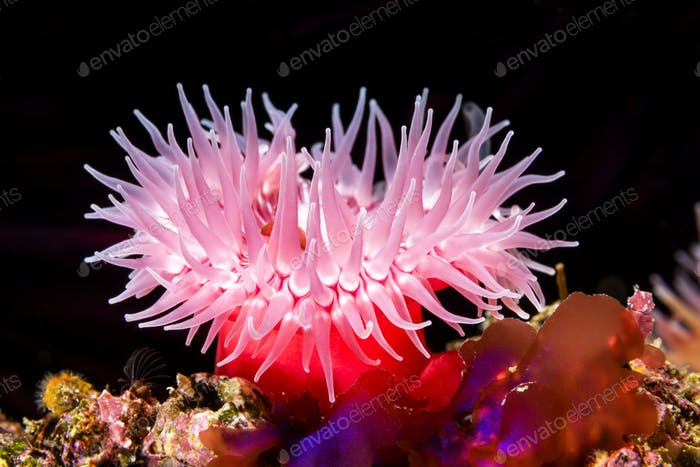 Red sea anemone on reef