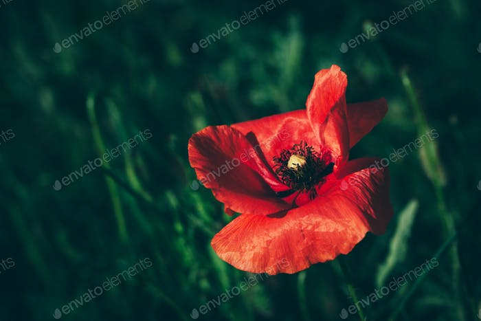 Single poppy flower in a green grass field.
