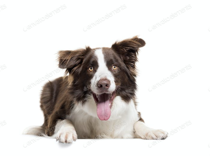 Lying down Border Collie panting, isolated on white