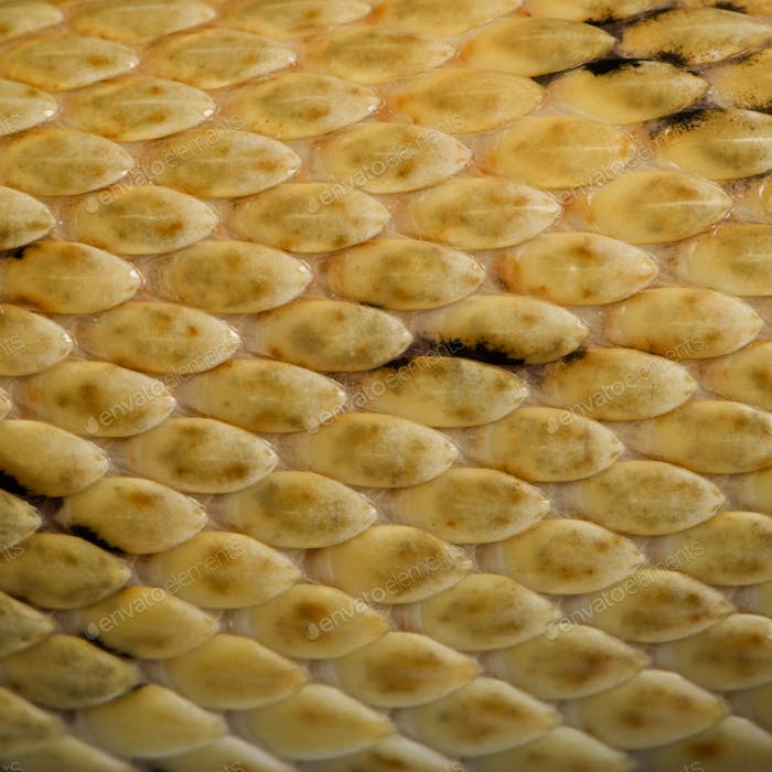 Close-up of Trans-Pecos rat snake scales, Bogertophis subocularis