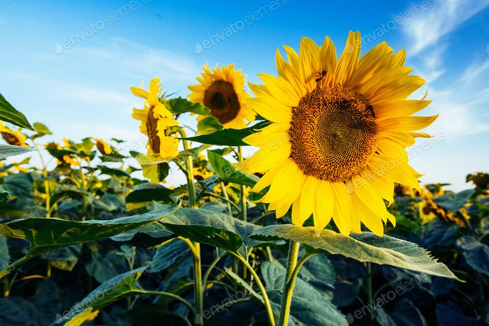 sunflowers through the rays of the sun