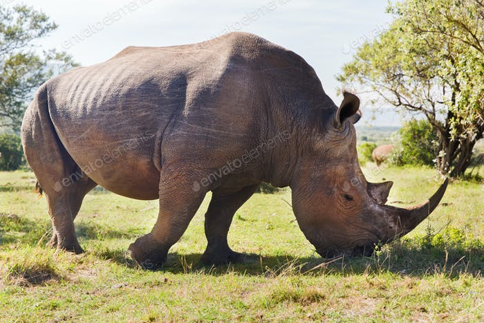 rhino grazing in savannah at africa