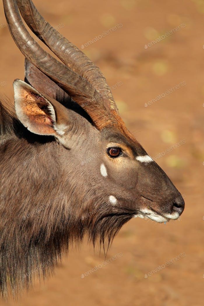 Nyala antelope portrait