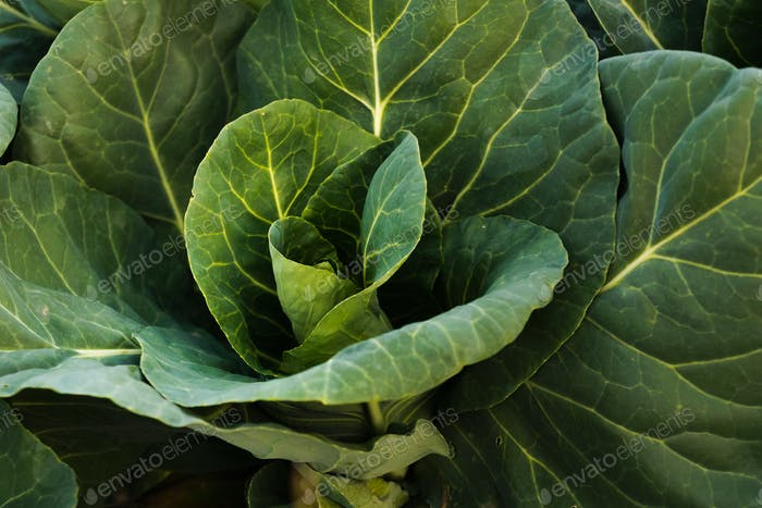 Green cabbage head closeup in nature on field