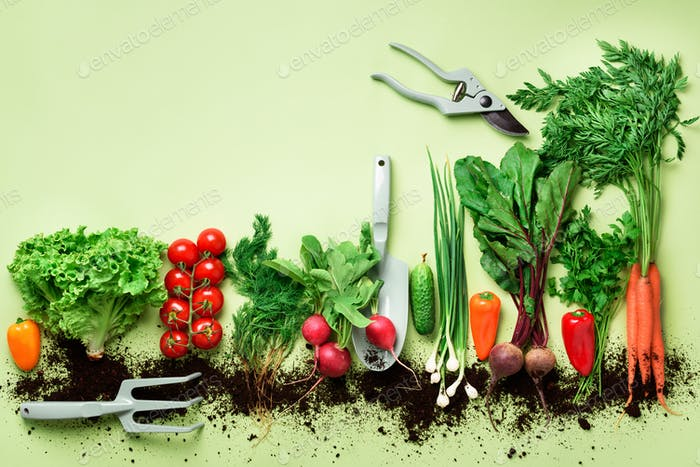 Organic vegetables and garden tools on green background with copy space. Top view of carrot, beet