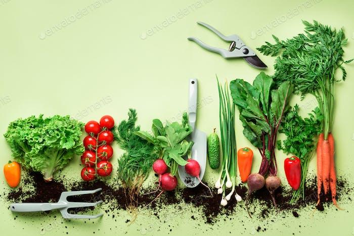 Bio-Gemüse und Gartengeräte auf grünem Hintergrund mit Kopierraum. Ansicht von oben von Karotte, Rübe