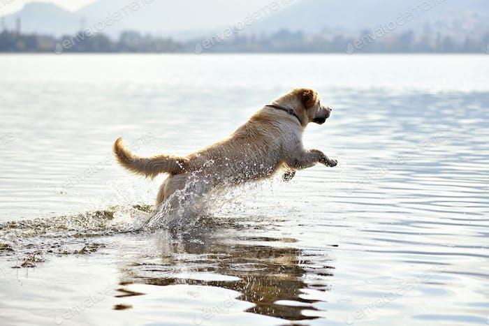 Golden retriever dog running in water