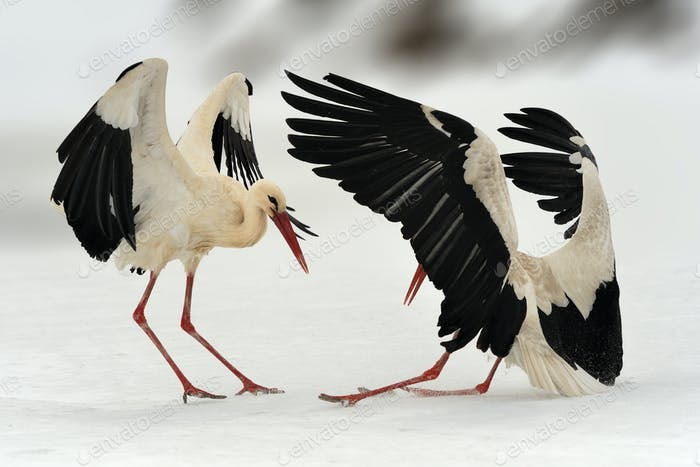 Two white stork in winter