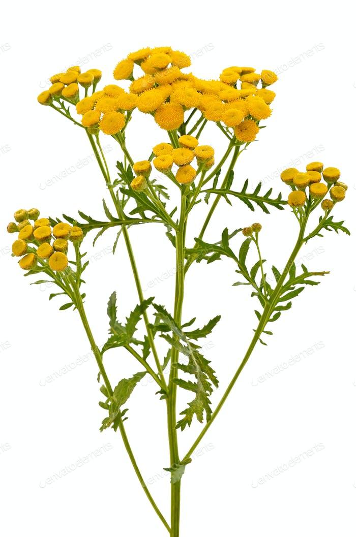 Tansy (Tanacetum Vulgare) flowers
