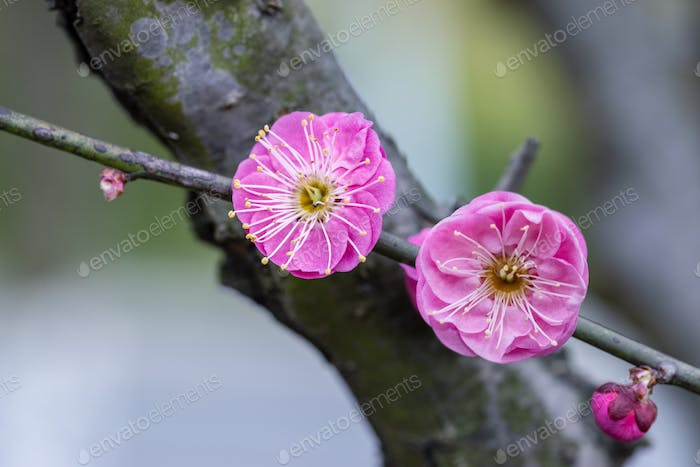 red plum blossoming in winter