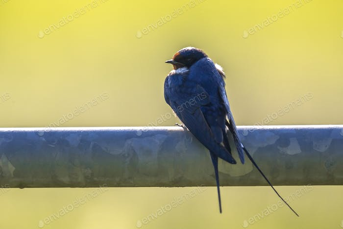 Barn swallow perched on metal pipe