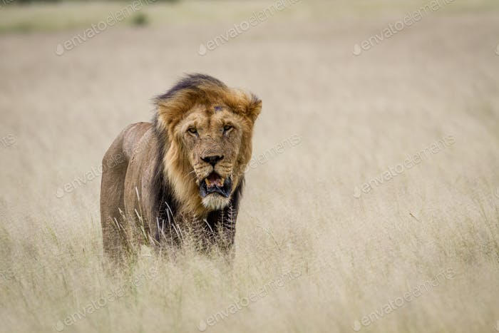 Big male Lion in the high grass.