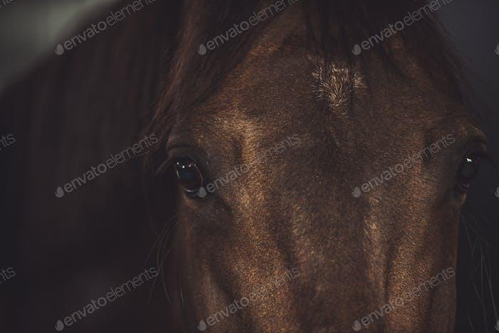 Brown Horse Look Closeup