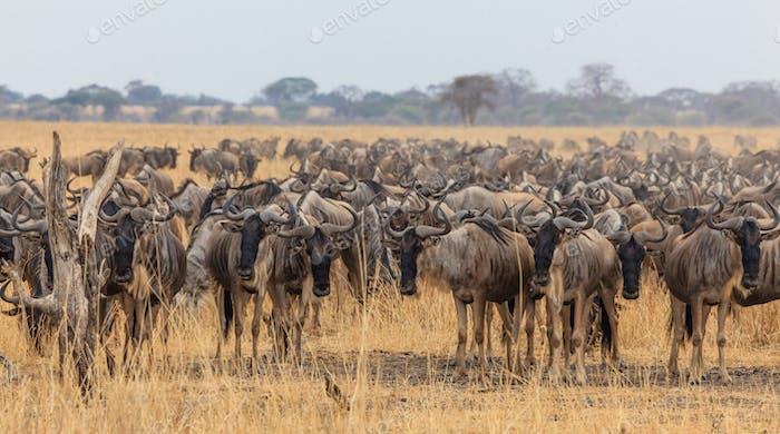 Wildebeest migration in tanzania and kenya129