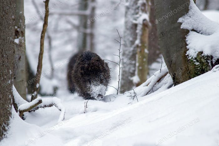 Wild boar running through forest in deep snow in winter