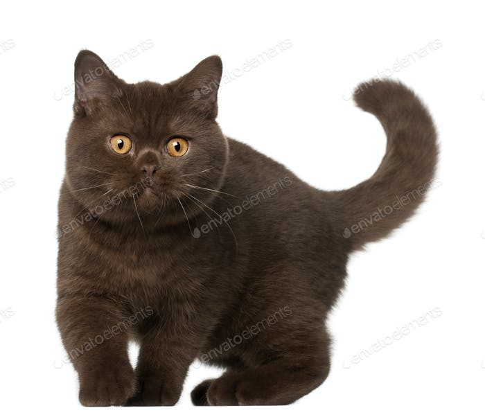 British shorthair cat, kitten, 4 months old, standing in front of white background