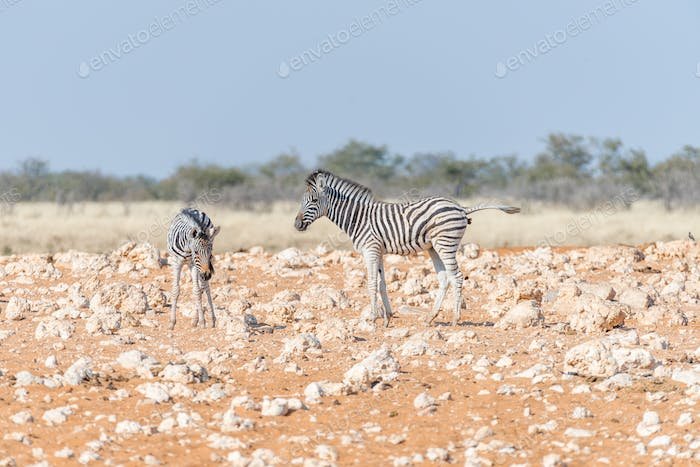Two Burchells zebra foals