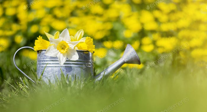 Yellow and white flowers in a watering can