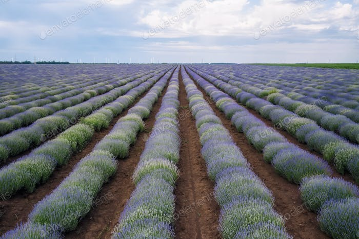 Lavender field top view