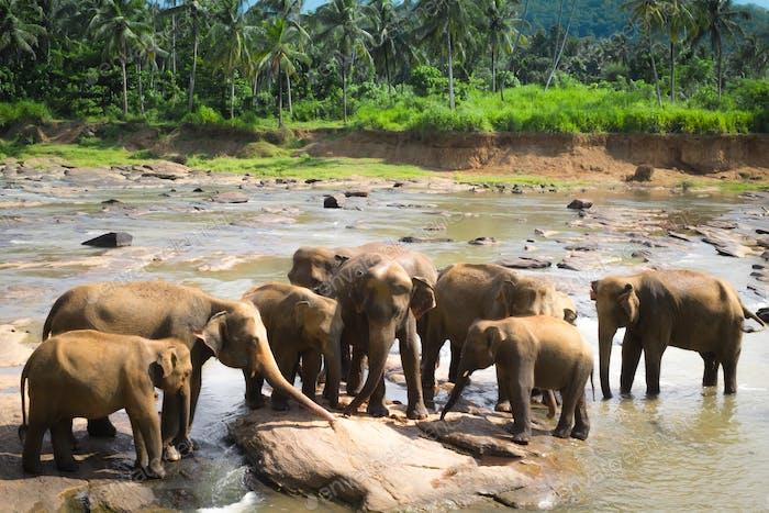 Grandes elefantes asiáticos. Naturaleza salvaje de Sri Lanka