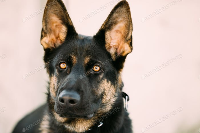 Beautiful Young Brown German Shepherd Dog