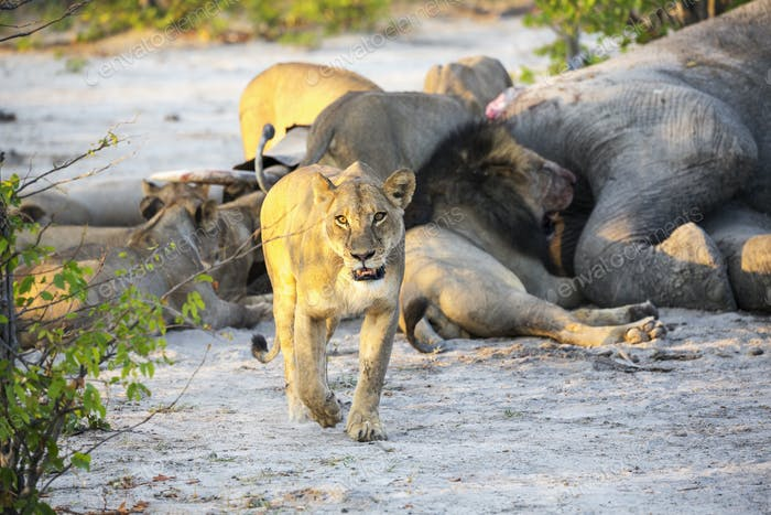 Adult lions feasting on a dead elephant carcass in a game reserve.