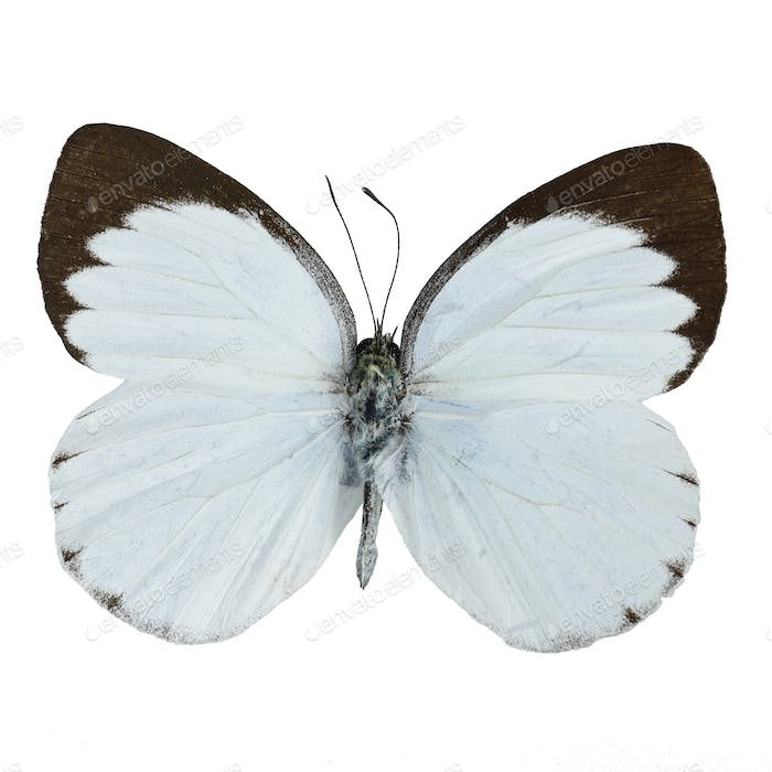 Delias butterfly