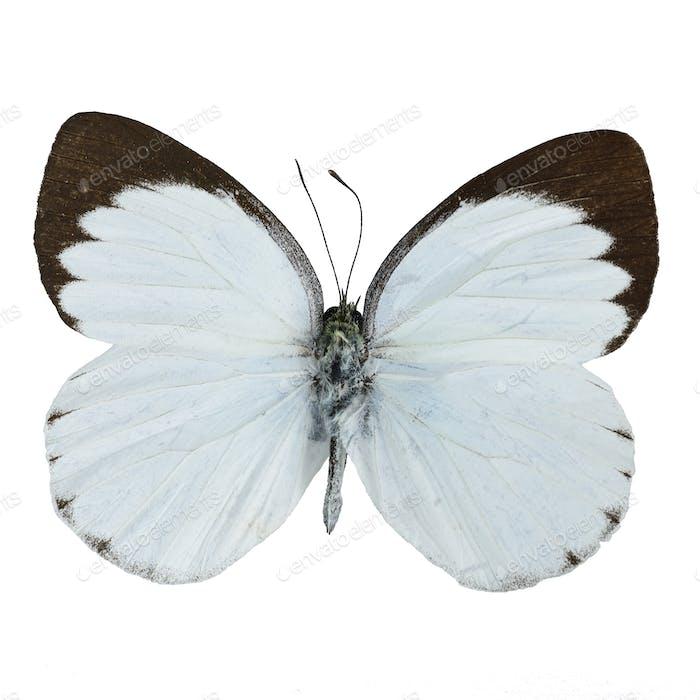 Delias Schmetterling