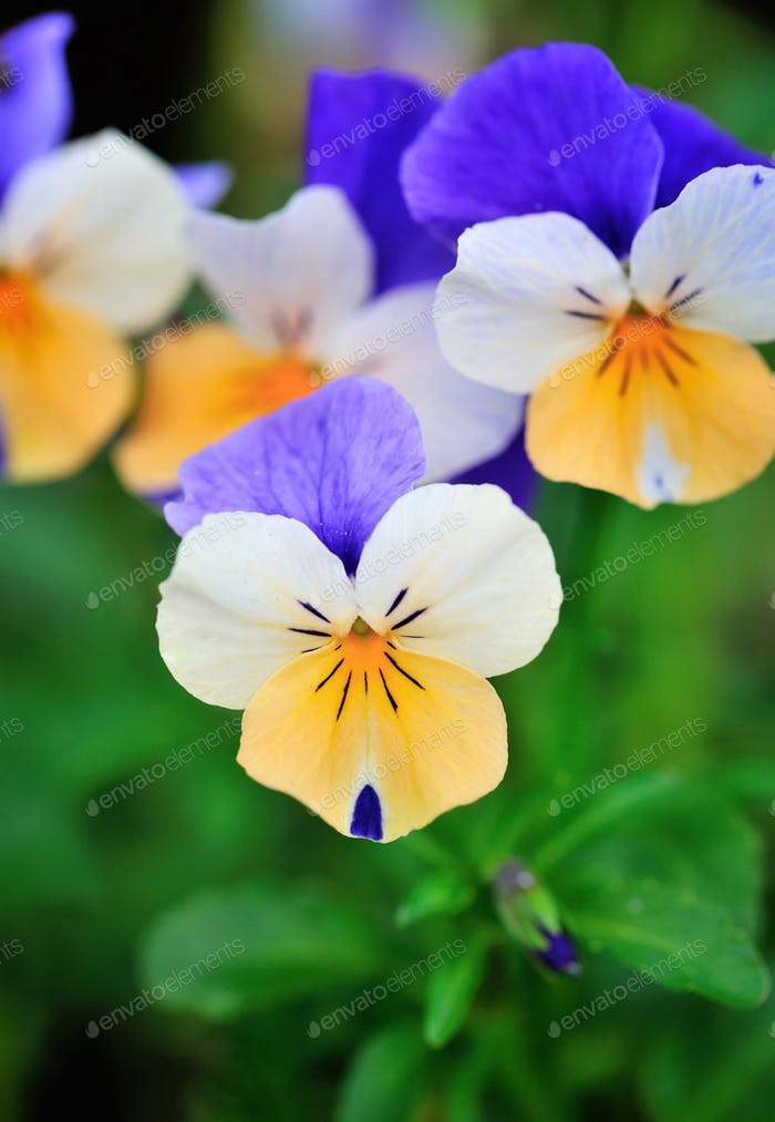 Tricolor pansy flower plant natural background, springtime