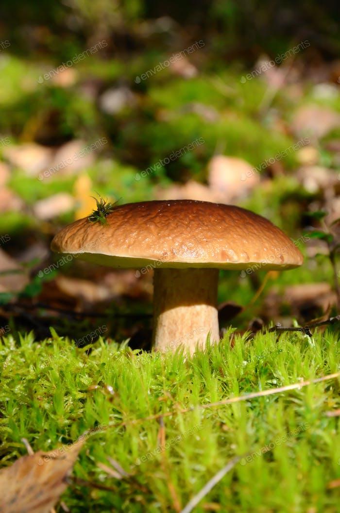 King boletus mushroom