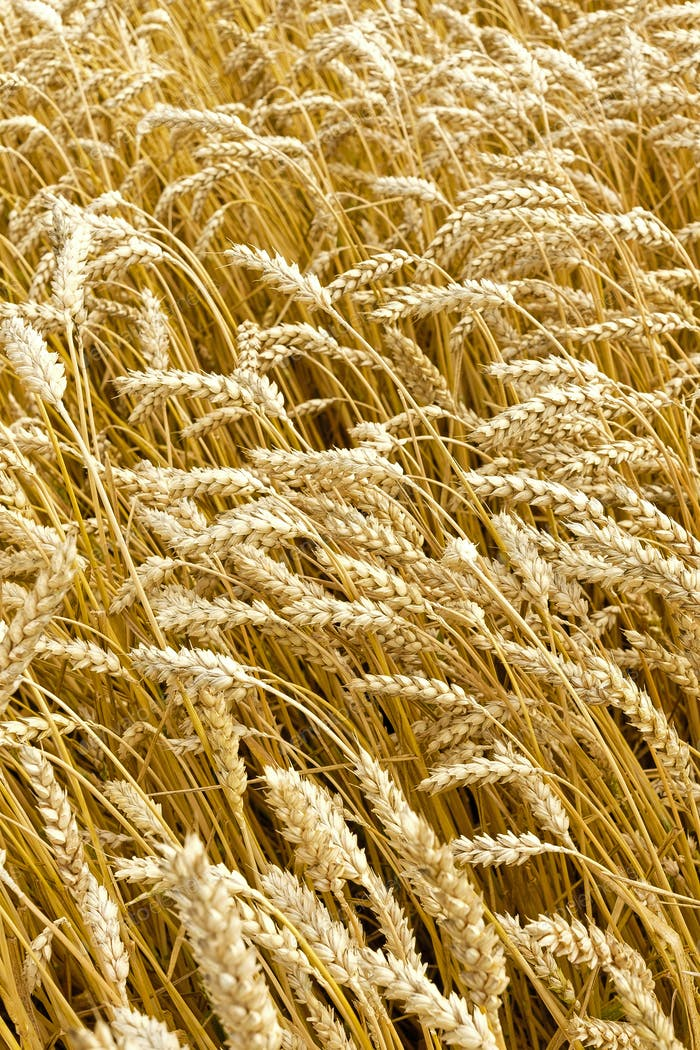 Golden wheat growing in field during summer