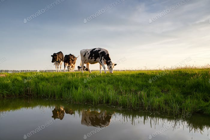 cows graze on pasture by river