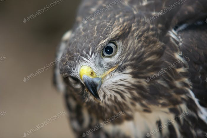 Head of the buzzard
