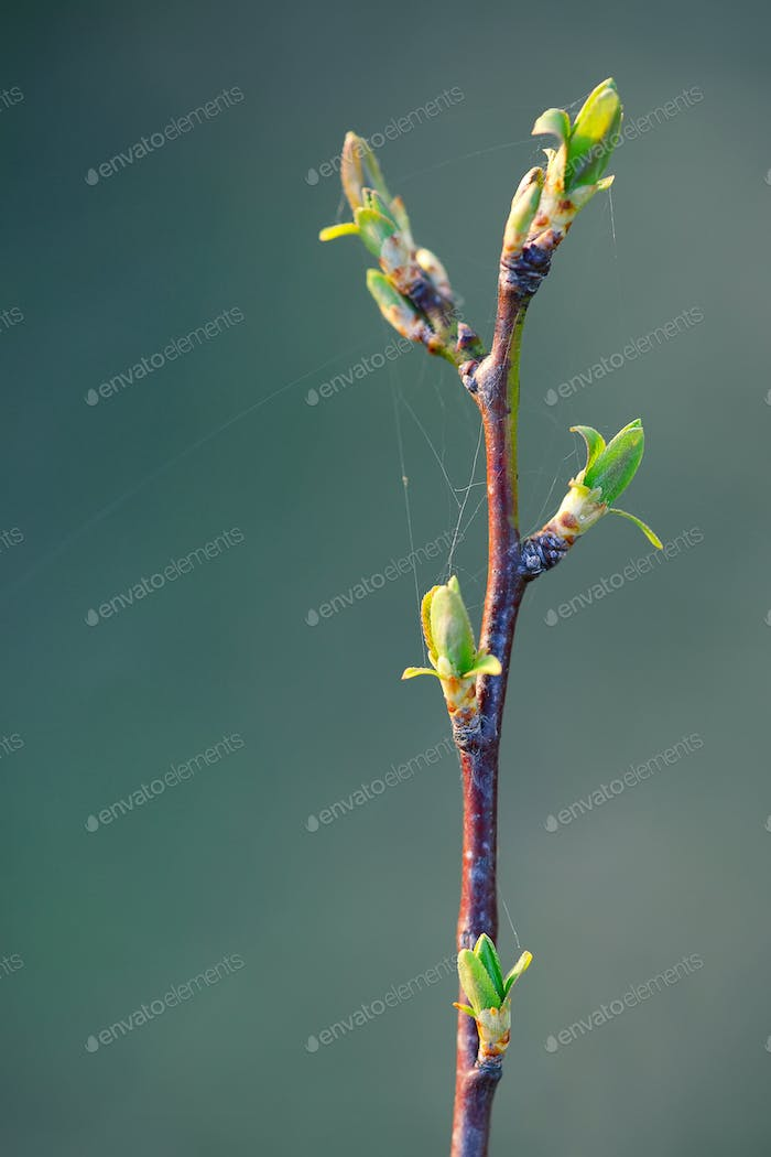 young branch with leaves and buds