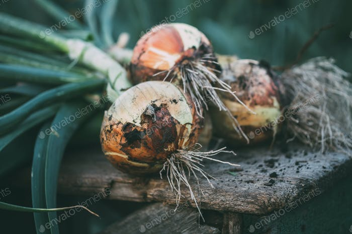 Freshly picked organic onions